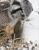 Northern Hawk owl and his Vole