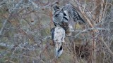 Northern Hawk Owl with a Mourning dove