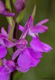 Anacamptis palustris