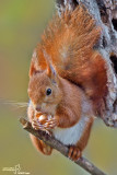 Scoiattolo rosso - Red squirrel - (Sciurus vulgaris)