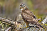 Poiana-Common Buzzard (Buteo buteo)