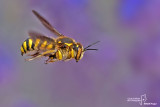 Anthidium fiorentinum
