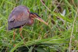 Airone rosso-Purple Heron  (Ardea purpurea)