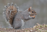 Grey squirrel - Sciurus carolinensis