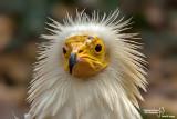Capovaccaio- Egyptian Vulture (Neophron percnopterus)