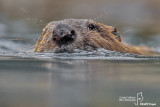 Castoro - Beaver (Castor fiber)