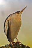 Tarabusino-Little Bittern (Ixobrychus minutus)