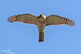 Sparviere- Eurasian Sparrowhawk (Accipiter nisus