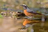 Codirosso - Common Redstart (Phoenicurus phoenicurus)