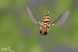Episyrphus balteatus
