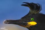 Marangone dal ciuffo- European Shag (Phalacrocorax aristotelis)