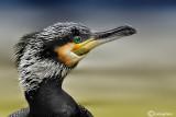 Cormorano- Great Cormorant (Phalacrocorax carbo)