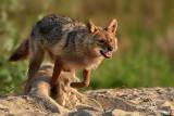 Sciacallo dorato -Golden jackal (Canis aureus)