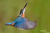 Martin pescatore - Kingfisher - (Alcedo atthis)