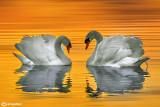 Cigno reale-Mute Swan (Cygnus olor)