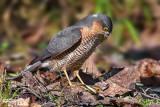 Sparrowhawk (Accipiter nisus ) prey Chaffinch (Fringilla coelebs)