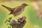 Usignolo-Common Nightingale (Luscinia megarhynchos)