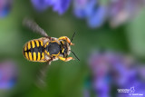 Anthidium sp.