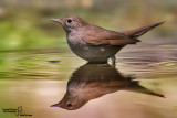 Usignolo-Common Nightingale (Luscinia megarhynchos)