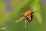 Carpocorus purpureipennis