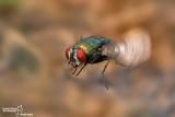 Ditteri- Diptera