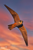 Lodolaio- Eurasian Hobby (Falco subbuteo)