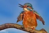 Kingfisher -Bee eater - Roller - Hoopoe