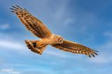 Accipitridae-Falconidae