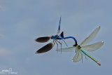 calopteryx splendens180.jpg