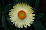 Golden Everlasting or Straw Flower