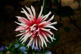 Common Chrysanthemum