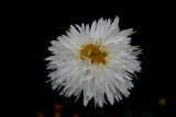 Chinese Aster