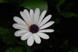 Blue & White daisybush