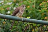 Common hawk-Cuckoo a.k.a. Brainfever Bird