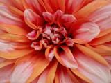 Dahlia Close up