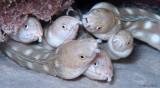 Sharptail Eels