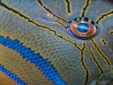 Queen Triggerfish Eye