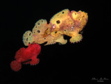 Frogfish Spawning Threesome