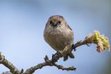 BC Songbirds