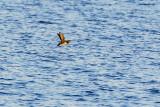 BC Seabirds
