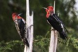 BC Kingfishers & Woodpeckers