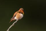 BC Swifts & Hummingbirds