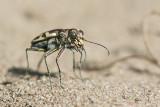 tiger beetle 071419_MG_7789