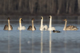 trumpeter swans 103019_MG_5354