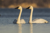 trumpeter swans 103019_MG_6057