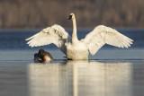 trumpeter swan 103019_MG_5675