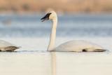 trumpeter swan 103019_MG_6124