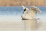 trumpeter swan 103019_MG_6180