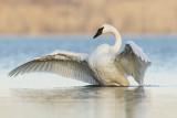 trumpeter swan 103019_MG_6186