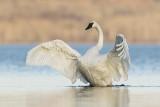 trumpeter swan 103019_MG_6194